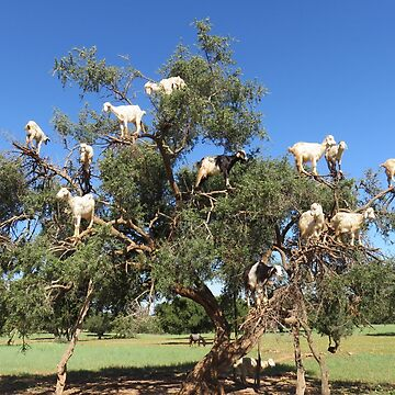 goats in trees by AHELENE