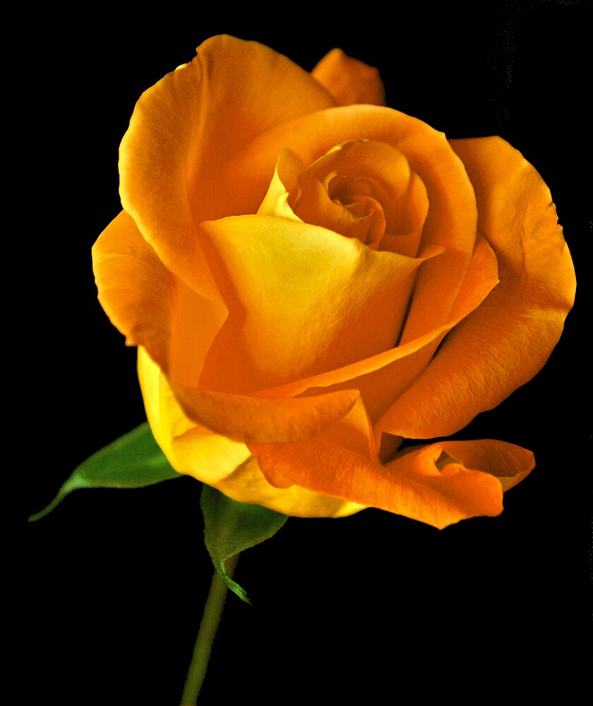 Elegants Orange Rose by Swede
