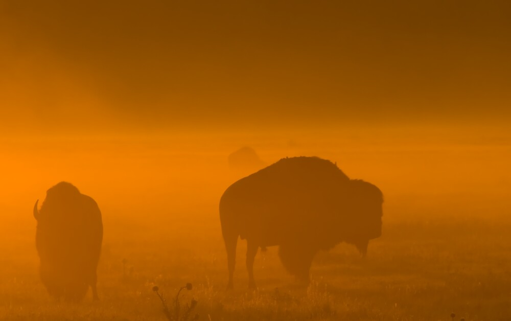 Bison in Fog II by Mike Needham