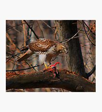 Red-Tailed Hawk with prey  Photographic Print