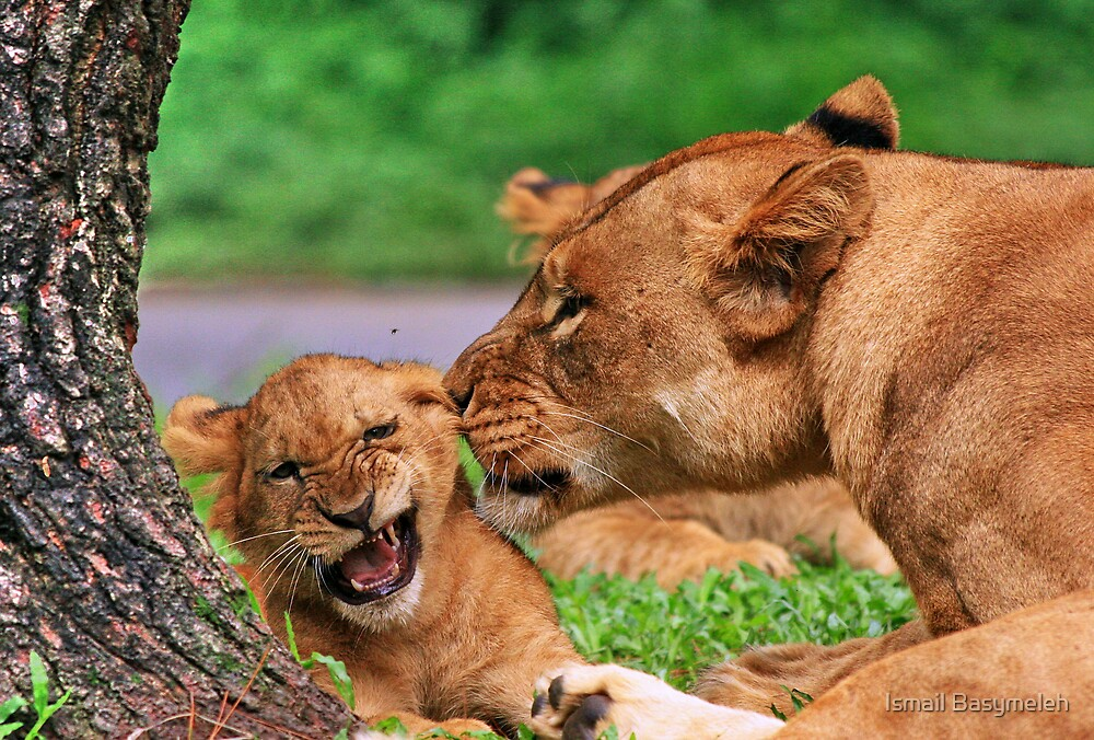 How the lion loves its baby by Ismail Basymeleh