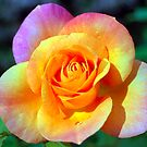 Colorful Rose by Nancy Stafford