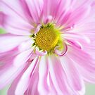 Pink Cosmos by Colleen Farrell