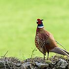 Male Pheasant looking for a mate by Andrew Jones