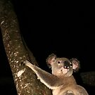 Koala by Brett Habener