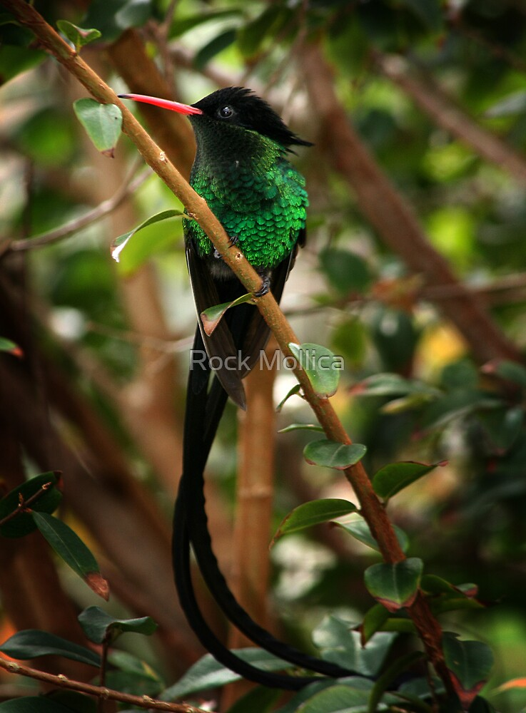 Jamaican Streamertail Humming Bird by Rock Mollica