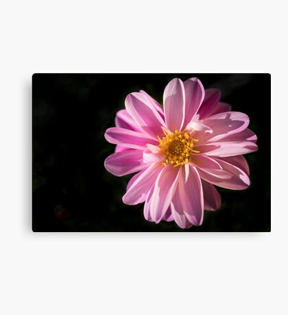 Sunshine on a Perfect Dahlia Canvas Print