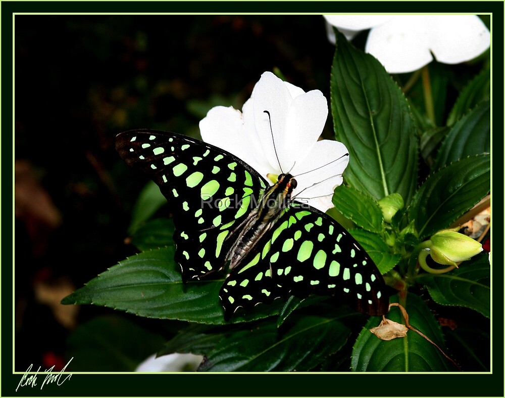 Tailed Jay by Rock Mollica
