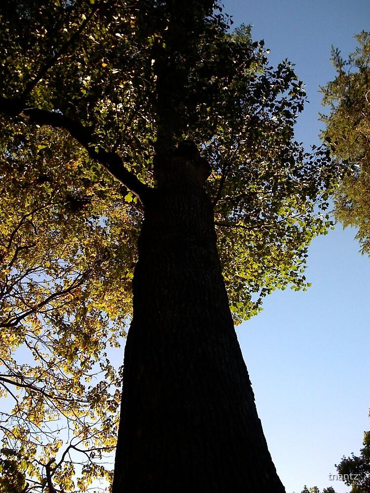 George Washington's Tree by tnantz