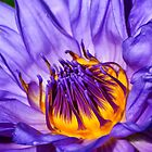 Purple Water Lily  - July 2016 by cclaude