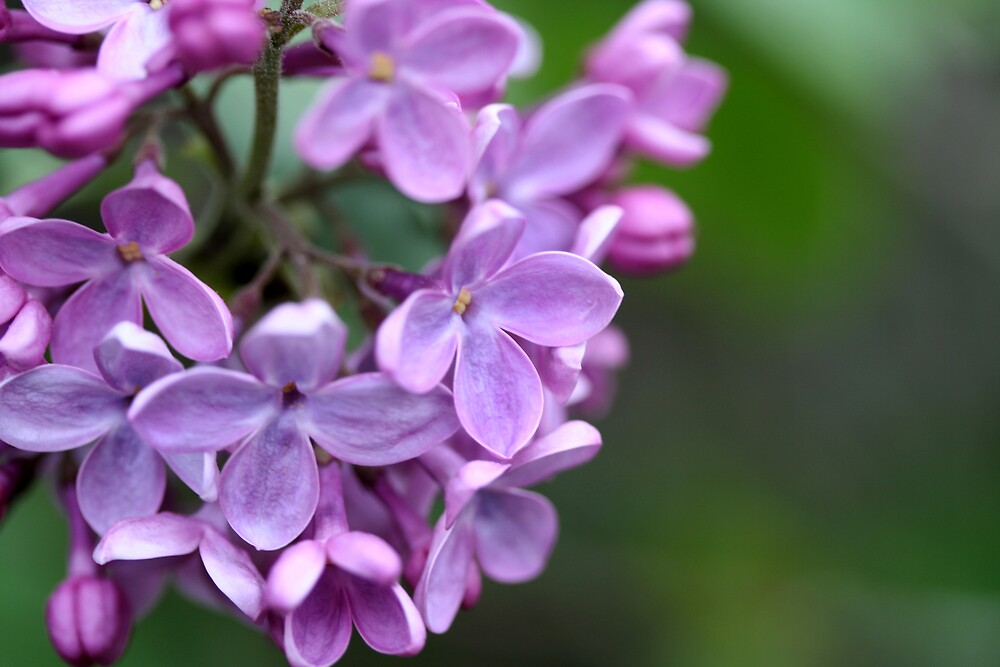 Lilacs by DJ Fortune