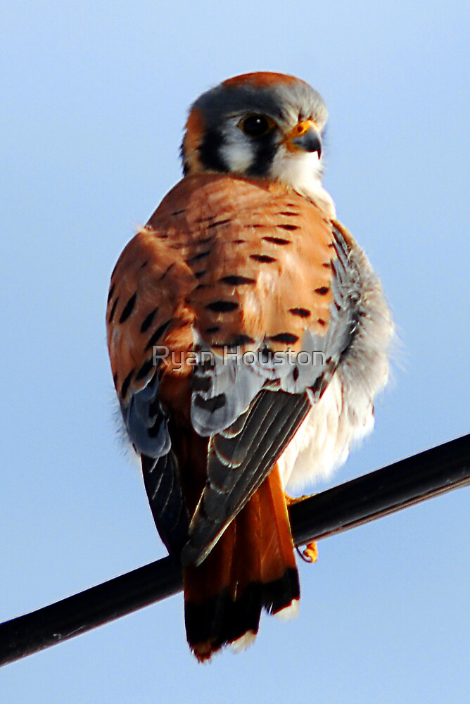 Sparrow Hawk by Ryan Houston
