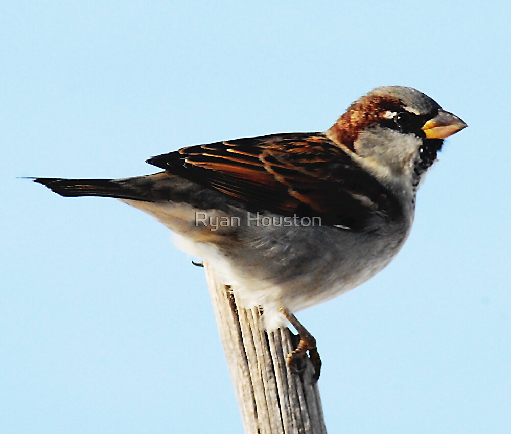 Male House Sparrow on Post by Ryan Houston