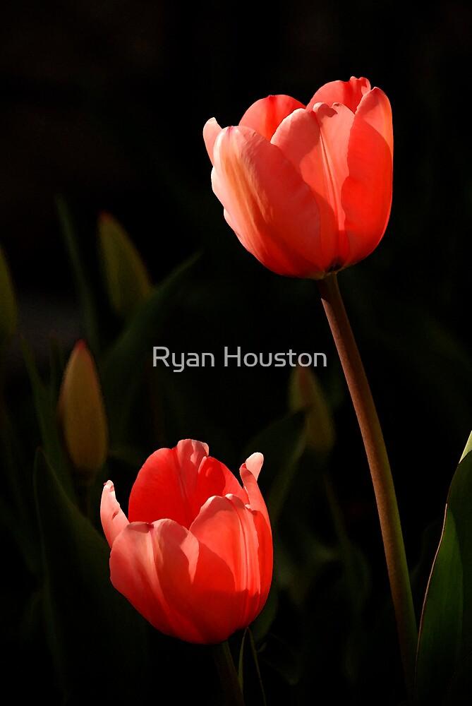 Spring Tulips by Ryan Houston