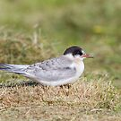 Young Common Tern by Dominika Aniola