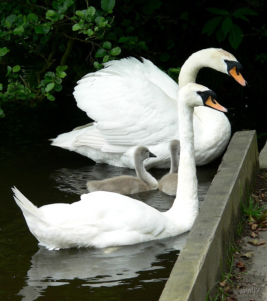 Swans by jayt47