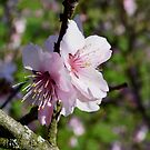 Mandeln im Frühling by GOSIA GRZYBEK