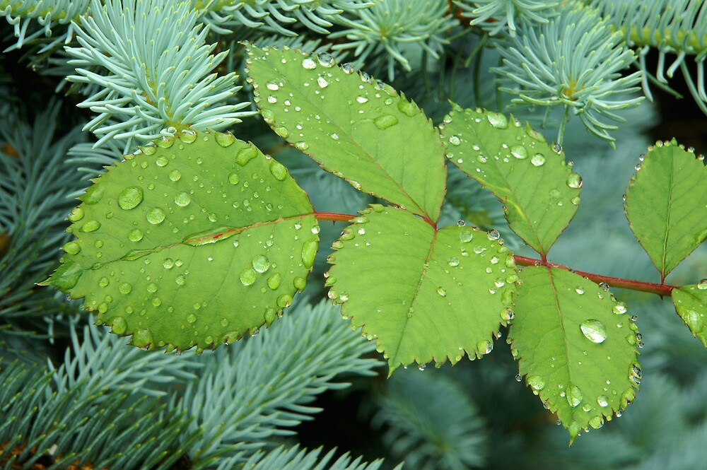 Leaf Drops by Sandy  McClearn