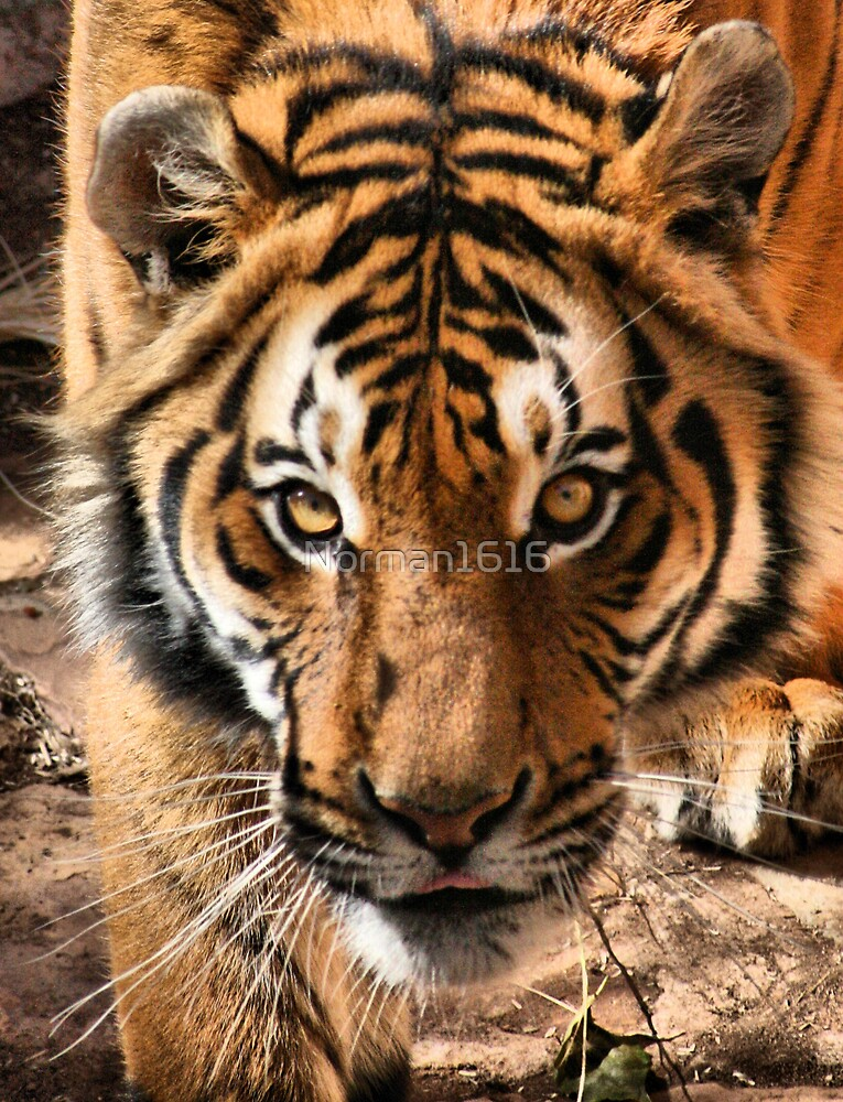 Tiger by Norman1616