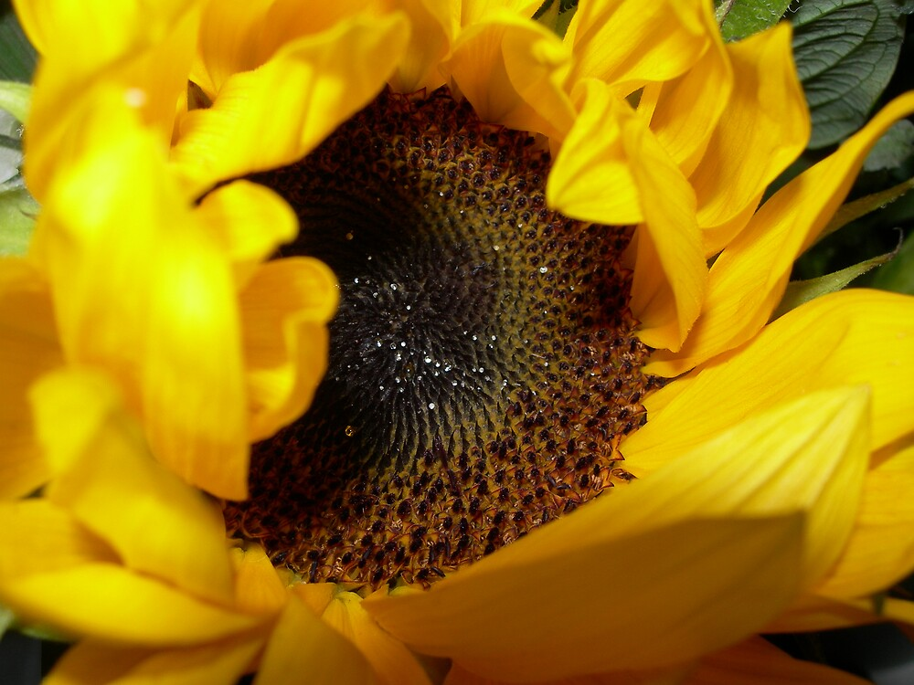 sunflower by Emmett  Cathcart