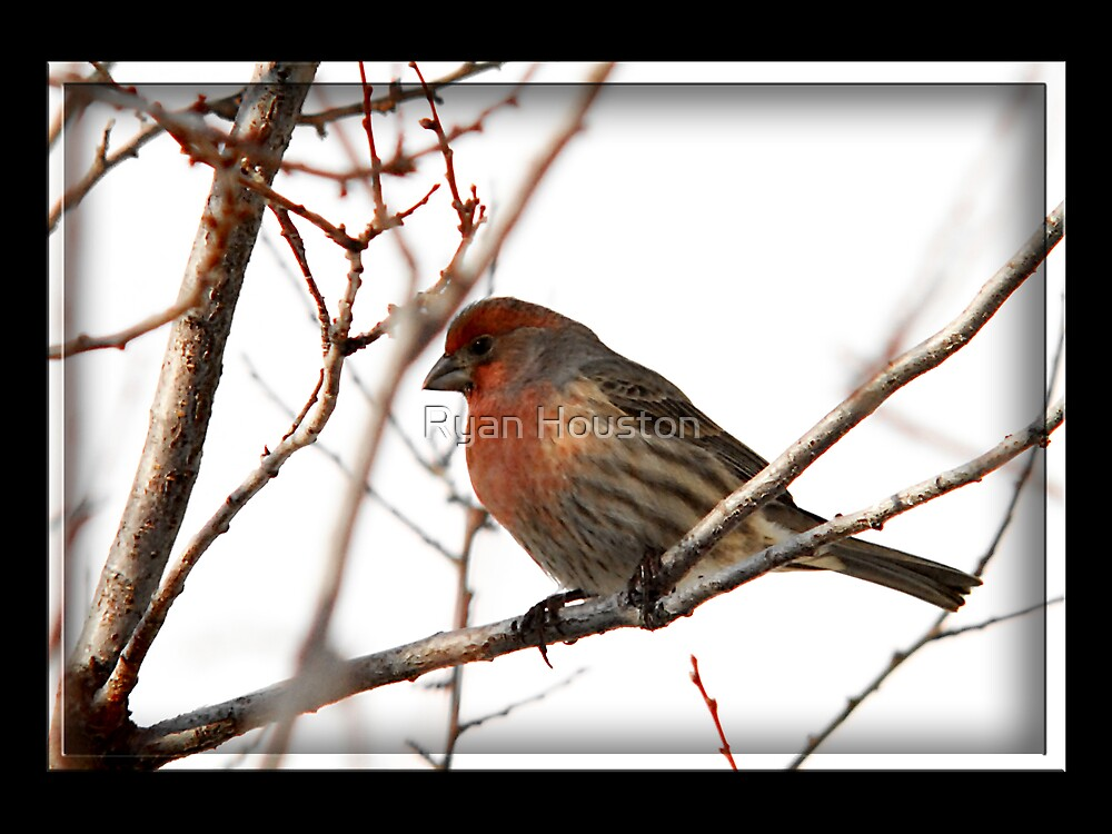 Male House Finch Winter by Ryan Houston