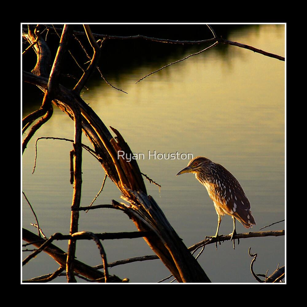 Immature Black-Crowned Night Heron by Ryan Houston