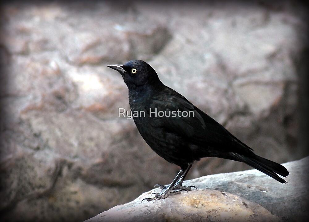 Blackbird on Rocks by Ryan Houston