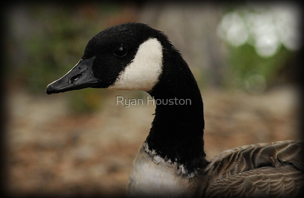 Canadian Goose by Ryan Houston