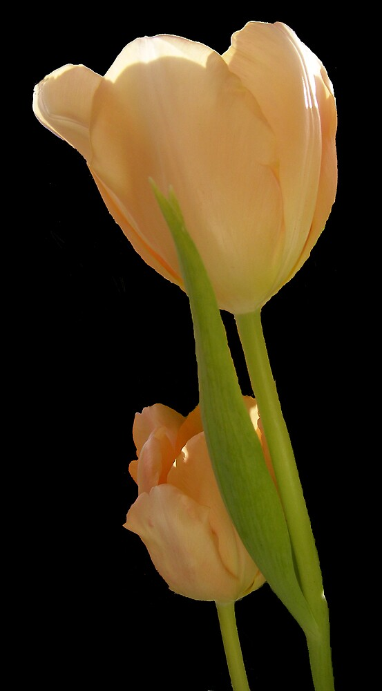Two Tulips by lmcp 27