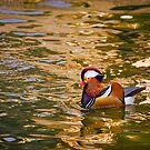Mandarin Duck On Water by Lucinda Walter