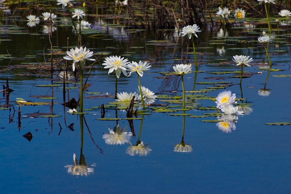 Lilies, McMinns Lagoon, NT by Keith McGuinness