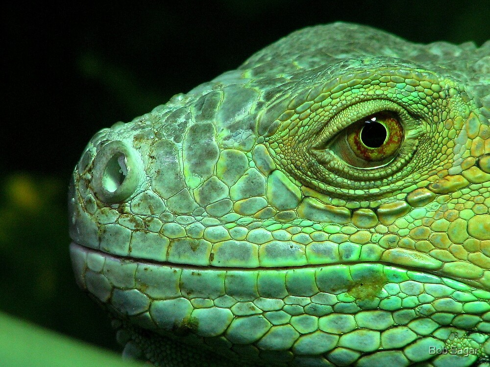 Iguana head by Bob Sagar