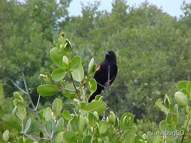 Red Wing Blackbird by Junebug60