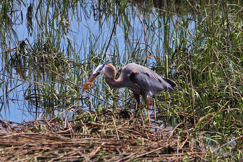 Great Blue Heron Catch by Cynthia48
