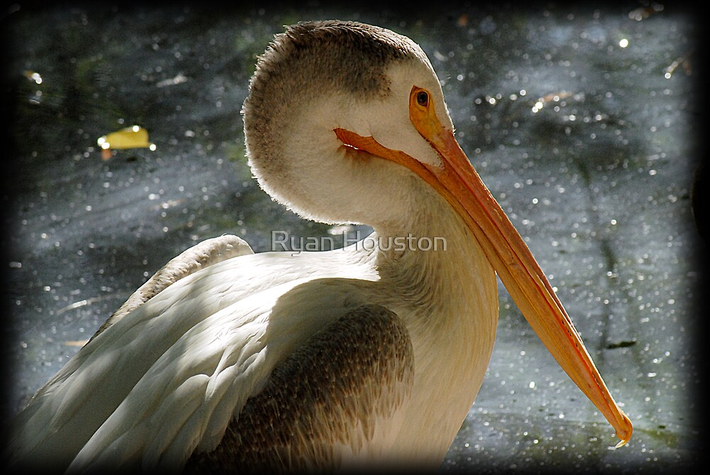 Pelican-Tracy Aviary by Ryan Houston