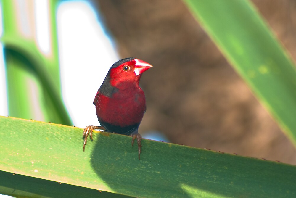 Crimson Finch, Rapid Creek, NT by Keith McGuinness