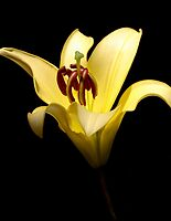 Afternoon Sun on a Lily by Rebecca Cozart