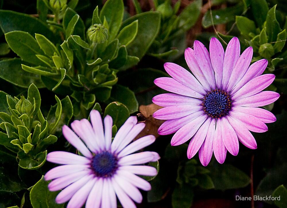 Lavender Daisy by Diane Blackford