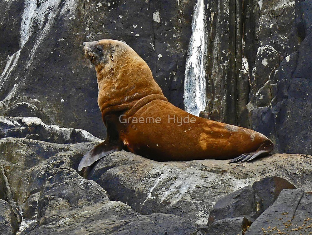 Fur Seal on Tasman Island by Graeme  Hyde