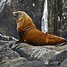Fur Seal on Tasman Island by Graeme  Hyde
