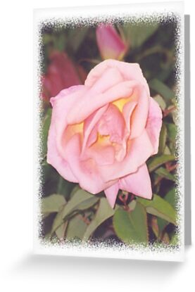 A pale pink rose by STHogan