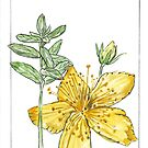Hypericum perforatum - Botanical illustration by Maree Clarkson