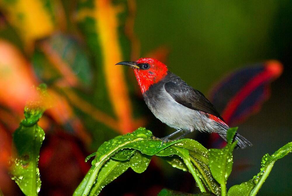 Red-headed Honeyeater, Rapid Creek, NT by Keith McGuinness