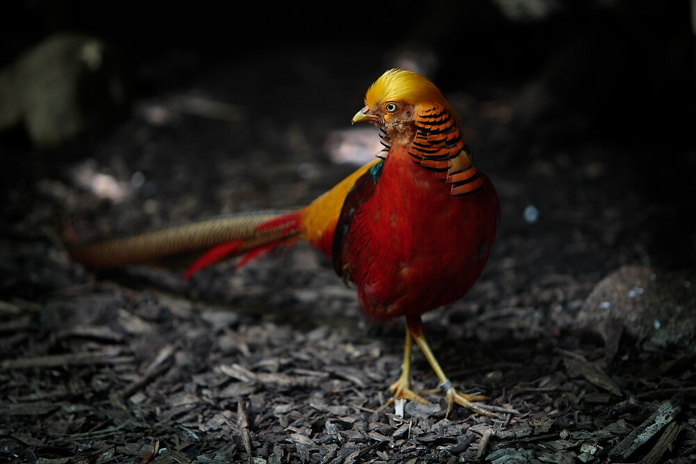 GOLDEN PHEASANT by taurus10