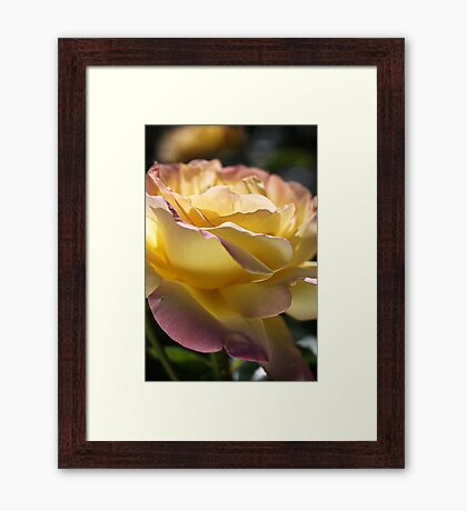 Beautiful Rose Yellow And Pink Romance Framed Print