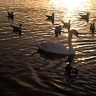 Dusk Swan by Niamh Harmon