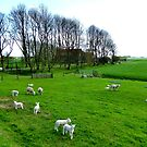 And there were lambs too ... by jchanders