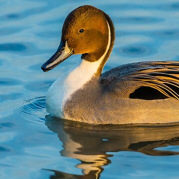 Pintail Duck Drake by Dalyn