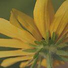 Sunflower I by Craig Cooper