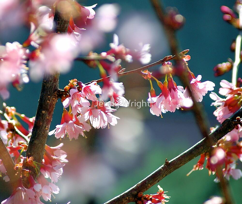 Cherry Blossom by Jenny Wright